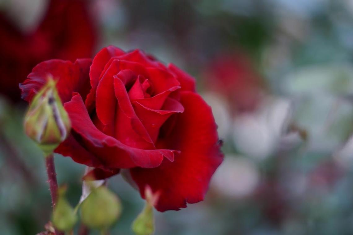 Rose_Takashi M.